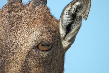 Markhor (Capra falconeri) is a large species of wild goat. Stock Photo
