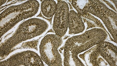 Histologically stained cross-section ofa  rabbit testicle.