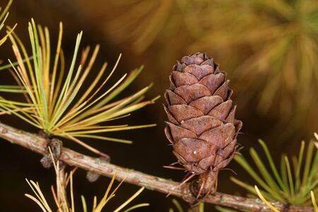 Ovulate cone of larch tree in late autumn, beginning of November