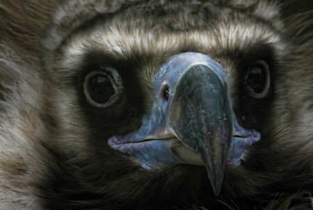A portrait of Eurasian black vulture, a large raptorial bird that is distributed through much of Eurasia.