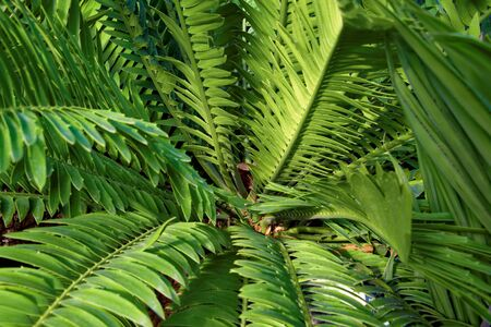 Cycads: seed plants with a very long fossil history that were formerly more abundant and more diverse than they are today. Banco de Imagens