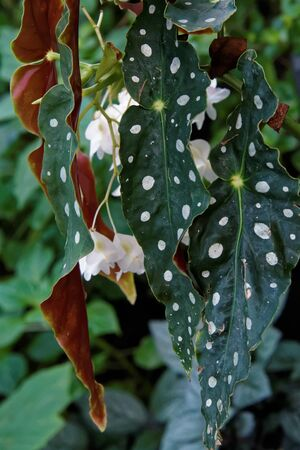 Begonia Maculata commonly referred to as the Polka dot Begonia, is undoubtedly one of the most strikingly gorgeous species of indoor plants.