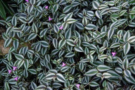 Tradescantia zebrina has attractive zebra-patterned leaves.