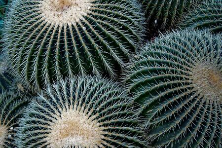 Echinocactus grusonii, popularly known as the golden barrel cactus, golden ball or mother-in-laws cushion