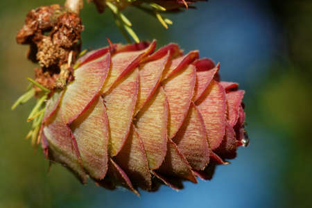 Young ovulate cone of larch tree in spring, beginning of May. Stockfoto