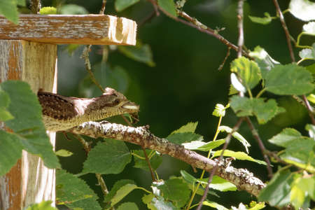 Eurasian wryneck carrying out his children's shit from a nest box