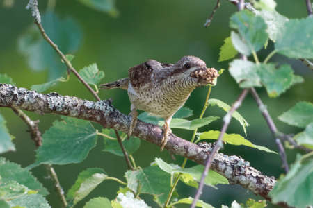 Eurasian wryneck carrying eggs and larvae of ants to his childrent in a nest box