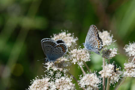 Plebejus idas, the Idas blue or northern blue, is a butterfly of the family Lycaenidae.