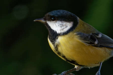 Great tit (Parus major) is a passerine bird in the tit family Paridae Stockfoto