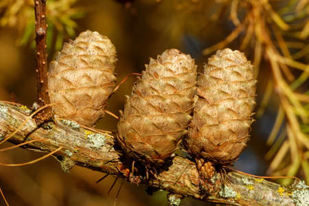 Old ovulate cones of larch tree in autumn, beginning of November.