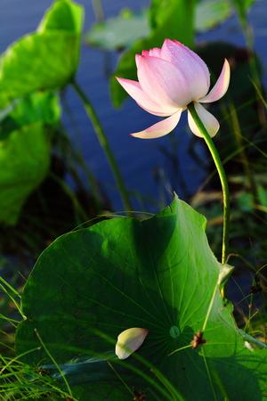 seedpod: lotus