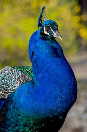 common peafowl: Indian blue peafowl close up