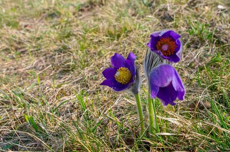 Pulsatilla patens is a species of flowering plant in the family Ranunculaceae
