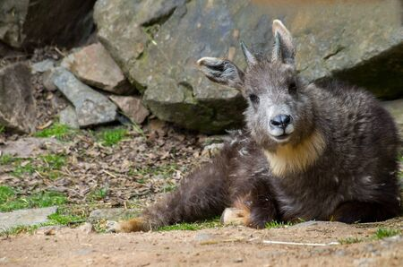 Himalayan goral resting in the sun