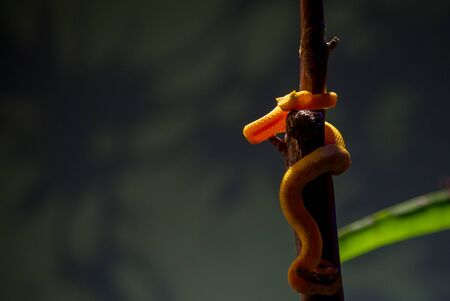Bothriechis schlegelii, the eyelash viper, is a venomous pit viper species found in Central and South America.