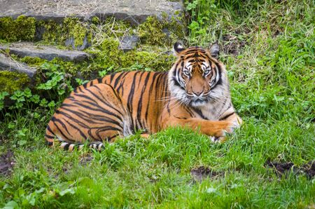 Siberian tyger resting on grass Banque d'images - 138295219