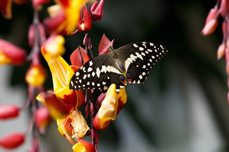 The Common Lime Butterfly, Papilio demoleus