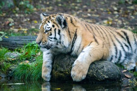 Siberian tiger cub by the water Banque d'images - 138030164
