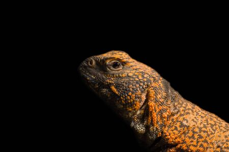 African spiny-tailed lizard close up Archivio Fotografico - 138030619