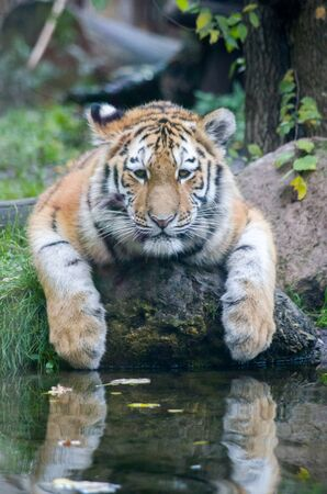 Siberian tiger cub by the water Banque d'images - 138031806