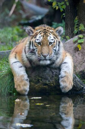 Siberian tiger cub by the water Banque d'images - 138030718
