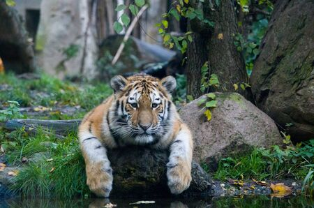 Siberian tiger cub by the water Banque d'images - 138030385