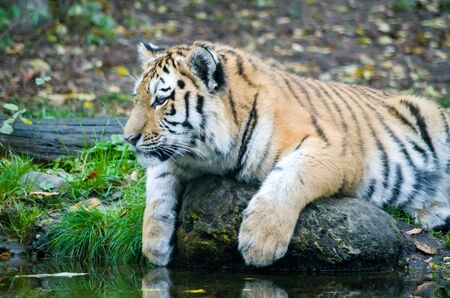 Siberian tiger cub by the water Banque d'images - 138030258