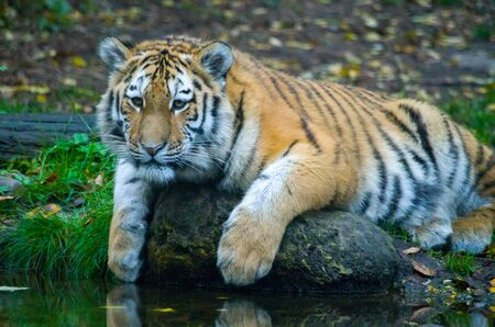Siberian tiger cub by the water Banque d'images - 138030356