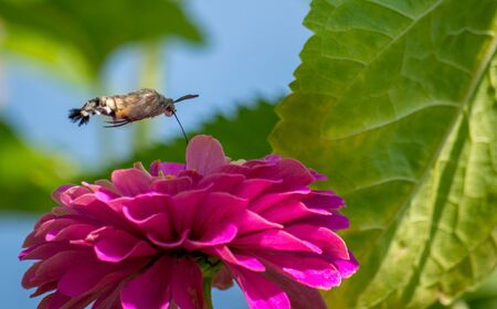 The hummingbird hawk-moth, Macroglossum stellatarum, is a species of moth. Itis distributed throughout the northern Old World from Portugal to Japan.