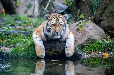 Siberian tiger cub by the water Banque d'images - 138030481