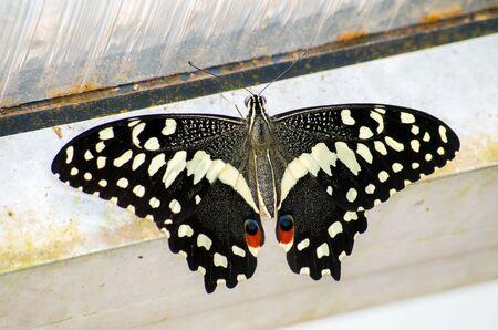 The Common Lime Butterfly, Papilio demoleus