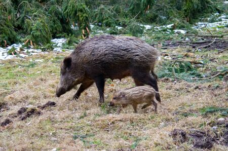 wild boar in the forest 스톡 콘텐츠