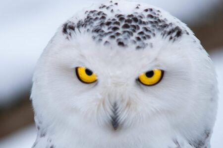 Portrait of a Snowy Owl, Bubo Scandiacus