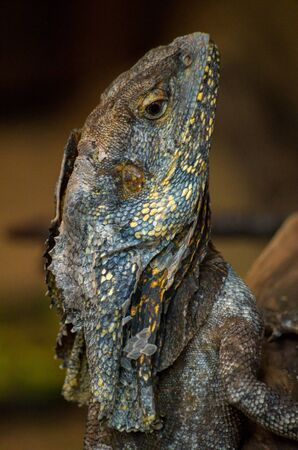 The frilled-necked lizard, Chlamydosaurus kingii, also known commonly as the frilled agama, frilled dragon or frilled lizard, is a species of lizard in the family Agamidae.