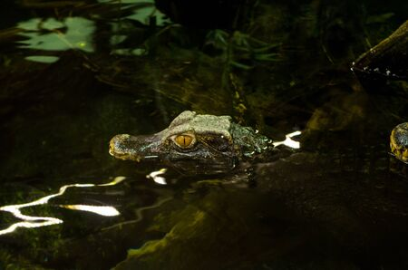 Smooth fronted caiman, Paleosuchus trigonatus, is the second smallest caiman 版權商用圖片