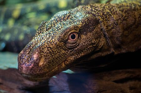 Varanus salvadorii is a species of monitor lizard endemic to New Guinea. Its common names include crocodile monitor, Papua(n) monitor, Salvadoris monitor and artellia.