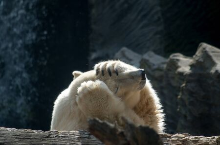 The polar bear, Ursus maritimus, is a hypercarnivorous bear whose native range lies largely within the Arctic Circle, encompassing the Arctic Ocean, its surrounding seas and surrounding land masses. It is a large bear, approximately the same size as the omnivorous Kodiak bear (Ursus arctos middendorffi). 스톡 콘텐츠