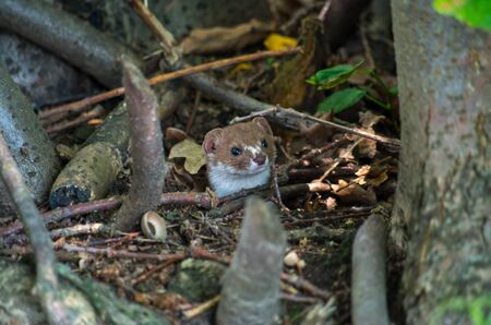 The least weasel, Mustela nivalis, common weasel, or simply weasel in the UK and much of the world, is the smallest member of the genus Mustela, family Mustelidae and order Carnivora.