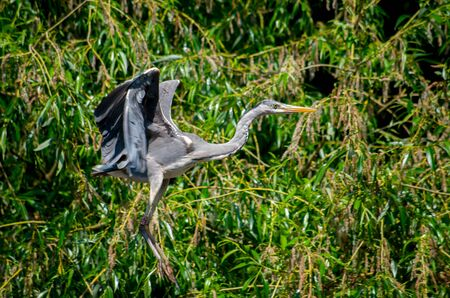 The grey heron, Ardea cinerea, is a long-legged predatory wading bird of the heron family, Ardeidae, native throughout temperate Europe and Asia and also parts of Africa.