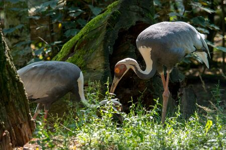 The white-naped crane, Antigone vipio, is a bird of the crane family.