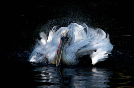 The Dalmatian pelican, Pelecanus crispus, is the most massive member of the pelican family.