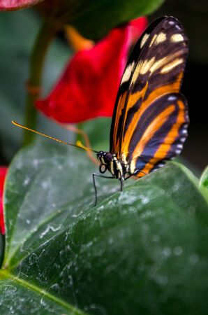 Heliconius ismenius, the Ismenius tiger or tiger heliconian, is a butterfly of the family Nymphalidae found in Central America and northern South America. Stock Photo