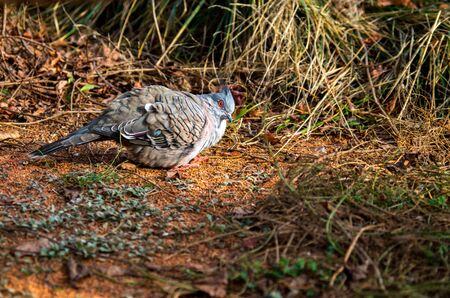 The crested pigeon, Ocyphaps lophotes, is a bird found widely throughout mainland Australia except for the far northern tropical areas.