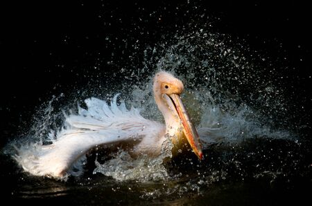 The great white pelican, Pelecanus onocrotalus, also known as the eastern white pelican, rosy pelican or white pelican is a bird in the pelican family. It breeds from southeastern Europe through Asia and Africa, in swamps and shallow lakes 版權商用圖片
