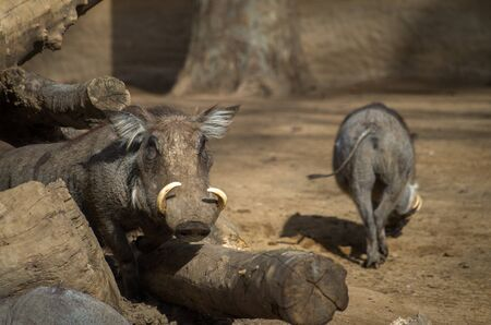 The desert warthog, Phacochoerus aethiopicus, is a species of even-toed ungulate in the pig family (Suidae), found in northern Kenya and Somalia, and possibly Djibouti, Eritrea, and Ethiopia.
