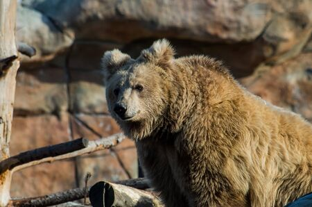 The Himalayan brown bear, Ursus arctos isabellinus, also known as the Himalayan red bear, isabelline bear or Dzu-Teh