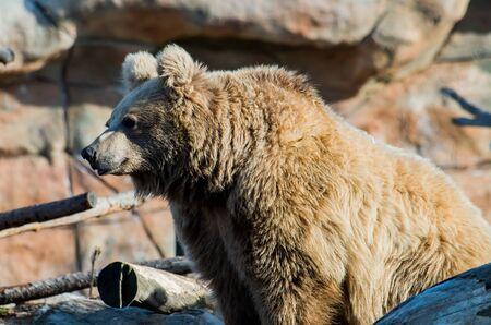 The Himalayan brown bear, Ursus arctos isabellinus, also known as the Himalayan red bear, isabelline bear or Dzu-Teh