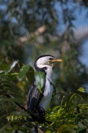 Little Pied Cormorant, Microcarbo melanoleucos
