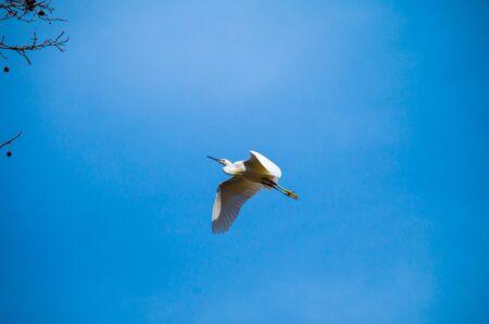 Little Egret, Egretta garzetta, is a white bird.