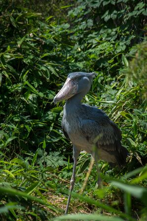 The shoebill, Balaeniceps rex, also known as whalehead, whale-headed stork, or shoe-billed stork, is a very large stork-like bird.
